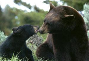 black-bear-mom-cub