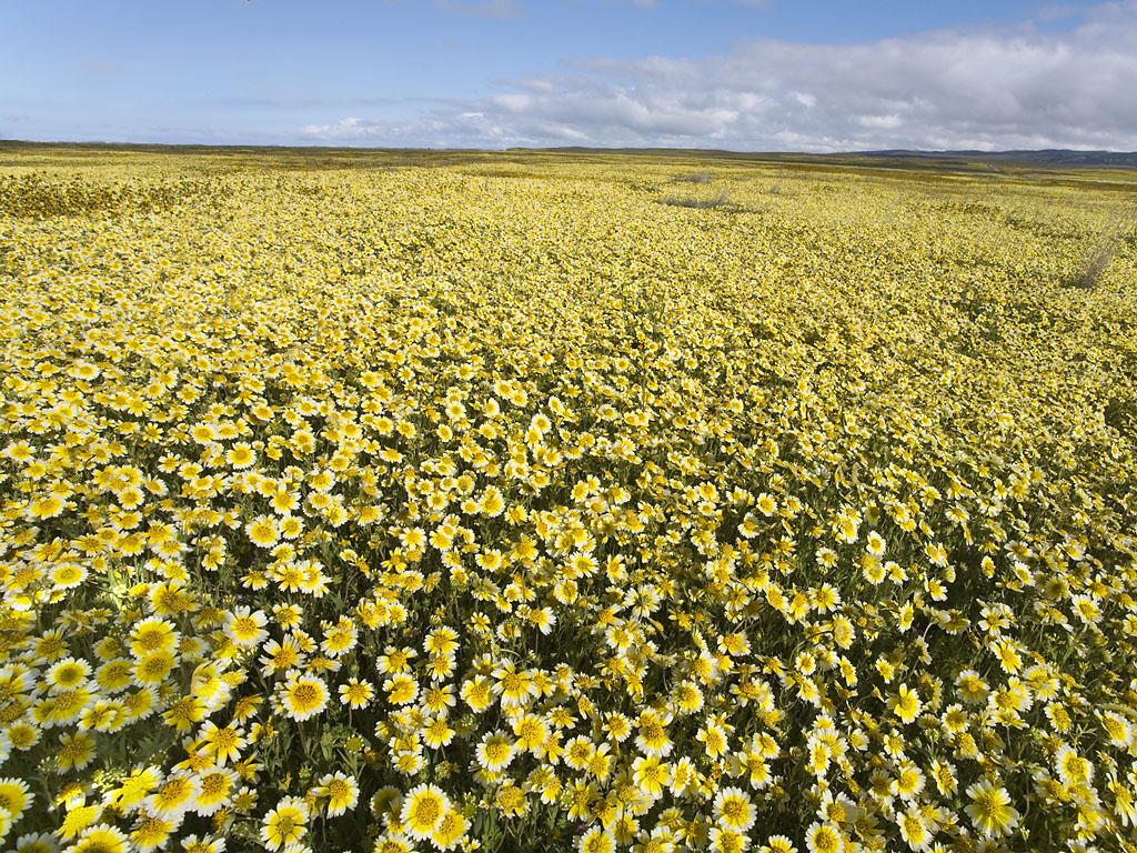 Carrizo Plain Wildflowers; image courtesy Bill Bouton