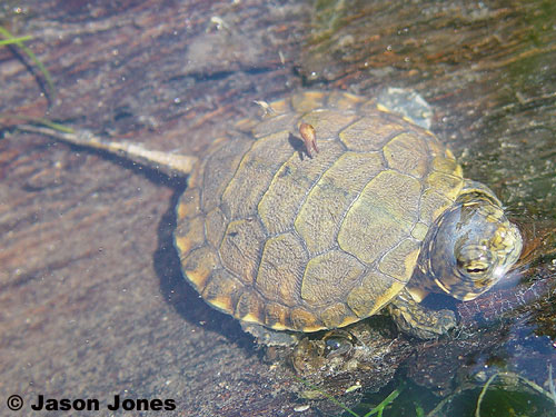 Pacific pond turtle Los Padres ForestWatch
