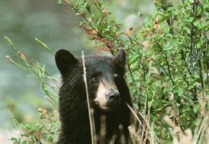 bears 006