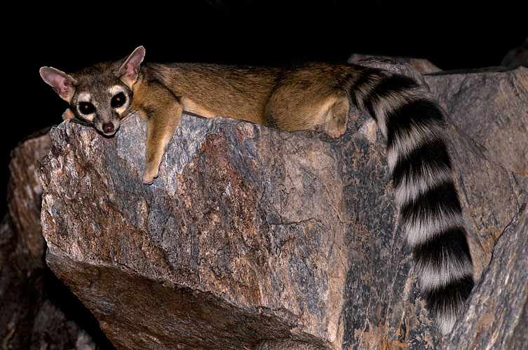 Squaw-ringtail-28073