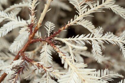 albinoredwood-steveemiller-slonewtimes
