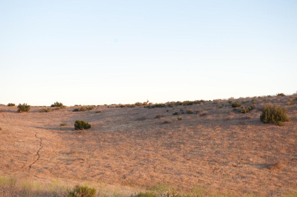 Tule Elk, Chimineas Ranch 2009
