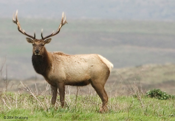 Tule_Elk_For_Sidebar