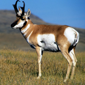 Pronghorn Credit USFWS square