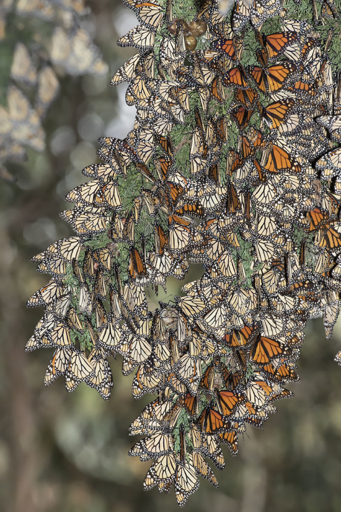 Monarch butterfly colony at Pismo Beach, CA. Photo Credit: © Bill Bouton.
