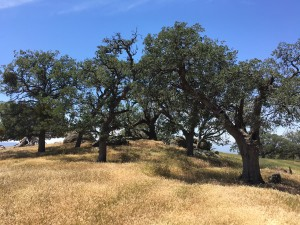 "The area is home to blue and valley oak woodlands, which experts agree are threatened by livestock grazing. Simple steps, such as fencing or placement of ""tree shelters"" to protect oak seedlings, would help restore this important component of the landscape."