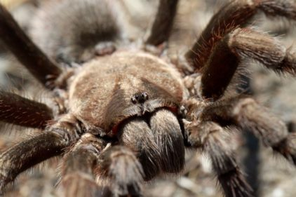 tarantula-portrait-robert-siegel-md-phd-stanford-university-used-with-permission