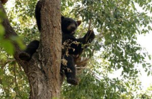 BlackBearInTree