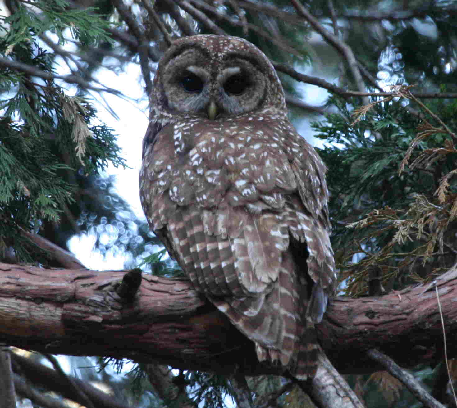 the spotted owl the forests products industry When the owl was listed as a threatened species in the summer of 1990, it was seen not just as a way to halt the decline in owl populations but also to end logging in the federal old-growth forests.