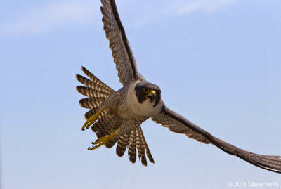 American Peregrine Falcon Los Padres Forestwatch