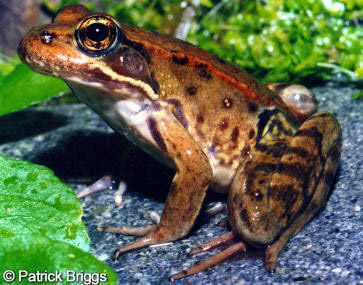 california red legged frog Species: red-legged frog rana aurora family: ranidae order: anura class: amphibia species note author: carlos davidson reviewed by: mark jennings.