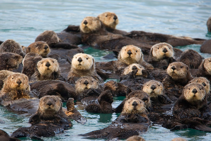 Why Sea Otters Hold Hands & Wrap Pups in Seaweed