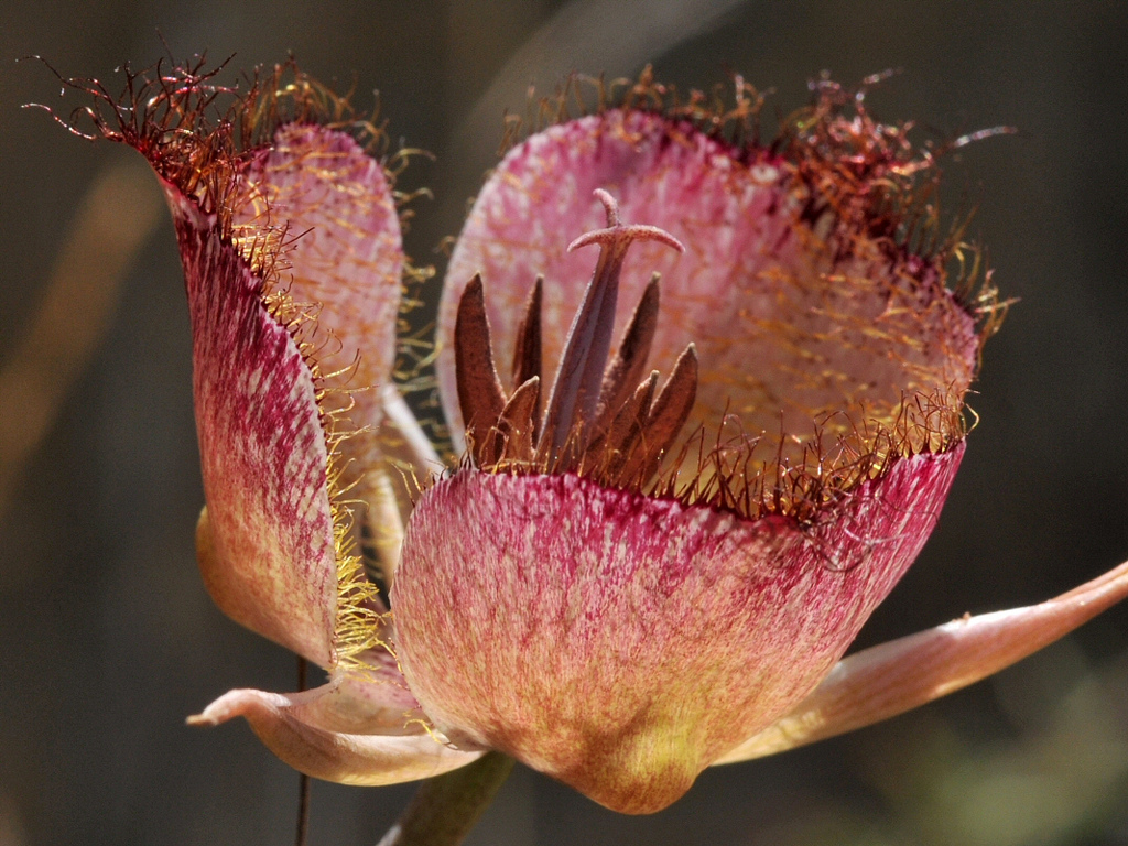Mariposa lily los padres forestwatch marc kummel izmirmasajfo Image collections