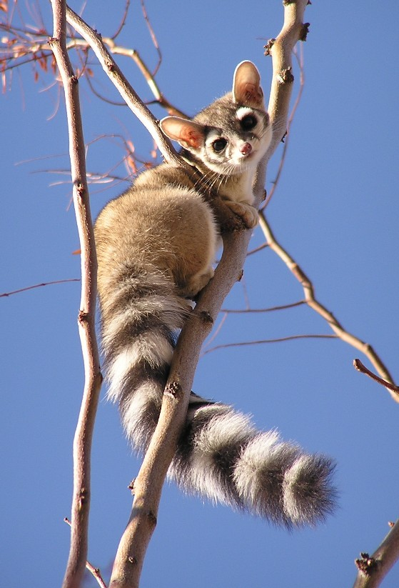 ring tailed cat los padres forestwatch